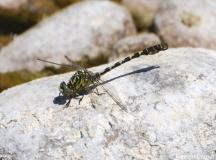 Onychogomphe à pinces, mâle, Drôme, mai 2011