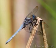 Orthétrum bleuissant, mâle adulte, Drôme, août 2016