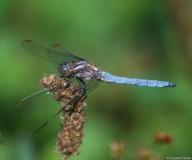 Orthétrum bleuissant, mâle, drôme 2013