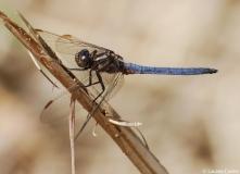 Orthétrum bleuissant, mâle, Drôme, juin 2011