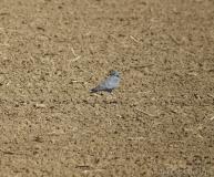 Pigeon colombin, Drôme, mars 2019