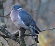 Pigeon ramier, Drôme 2012