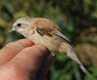 Rémiz penduline, jeune femelle, Drôme, septembre 2009