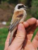 Rémiz penduline, femelle adulte, Drôme, septembre 2009