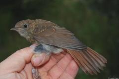 Rossignol philomèle, jeune en plumage juvénile, Drôme, août 2015