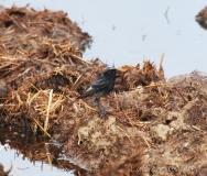 Rougequeue noir, mâle adulte, Drôme, mai 2017