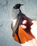 Rougequeue noir, mâle adulte, Drôme, mars 2011