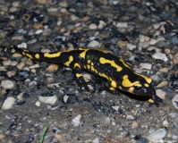 Salamandre tachetée, Drôme, avril 2012