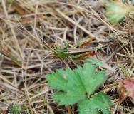Sténobothre commun, mâle adulte, Drôme, juillet 2017
