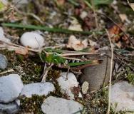 Sténobothre commun, femelle adulte, Drôme, septembre 2016