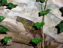 Troglodyte mignon, nid dans une falaise au bord d\'une rivière, Drôme 2007