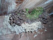 Troglodyte mignon, nid dans un vieux nid d\'hirondelle rustique, Drôme 2008