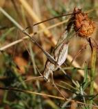 Phanéroptère liliacé, mâle adulte, Ardèche, juillet 2017