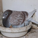 Analyse des attaques de rapaces sur les pigeons voyageurs