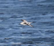 Bécasseau sanderling, Delta de l'Ebre, décembre 2017