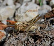 Decticelle carroyée, mâle adulte, Drôme, juillet 2017