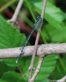 Pennipatte bleuâtre, mâle, Drôme, août 2009