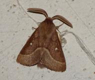 Bombyx du Trèfle, mâle imago, Drôme,  août 2021