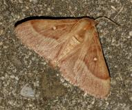 Bombyx du Trèfle, femelle imago, Drôme,  août 2021