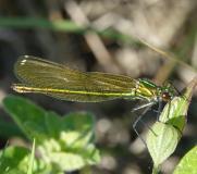Caloptéryx éclatant, femelle, Drôme, mai 2019