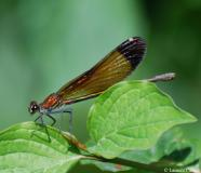 Caloptéryx hémorroïdal, femelle, Drôme, juillet 2012