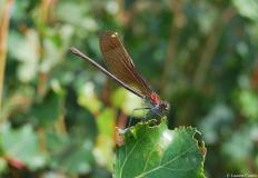 Caloptéryx hémorroïdal, femelle, Drôme, juillet 2009