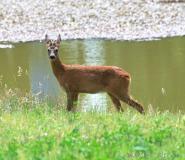Chevreuil, mâle, Drôme, Juin 2014