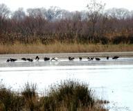 Cigognes noires et Cigognes blanches, Camargue, janvier 2021