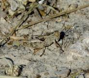 Caloptène italien, larve de mâle, Drôme, juillet 2019