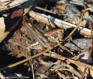 Decticelle intermédiaire, larve de mâle, Ardèche, juin 2017