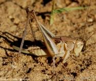 Decticelle intermédiaire, larve de femelle, Ardèche, juin 2017