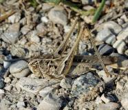Decticelle rudérale, mâle adulte, Drôme, juillet 2019
