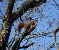 Écureuil roux, Drôme, avril 2021