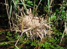 Gallinule poule d'eau, nid, Drôme, juillet 2017