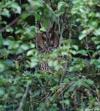 Hibou moyen-duc, mâle, Drôme, octobre 2011