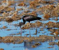 Ibis falcinelle, Delta de l'Ebre, décembre 2017