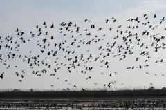 Ibis falcinelle, Delta de l'Ebre, février 2012