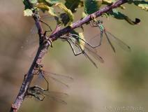 Leste vert, couples en tandem, femelles en train de pondre sous les écorces, Drôme, septembre 2012