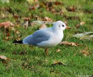 Mouette rieuse, Angleterre, décembre 2012