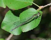 Naïade au corps vert, femelle, Drôme, juillet 2010