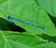 Naïade aux yeux bleus, mâle, Drôme, juin 2017