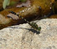 Onychogomphe à pinces, mâle, Drôme, juillet 2019