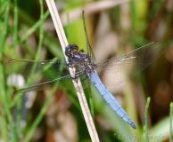 Orthétrum bleuissant, mâle, Drôme, juin 2016
