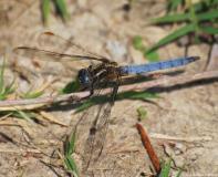 Orthétrum bleuissant, mâle, Drôme, juin 2013