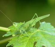 Phanéroptère commun, femelle adulte, Drôme, septembre 2019