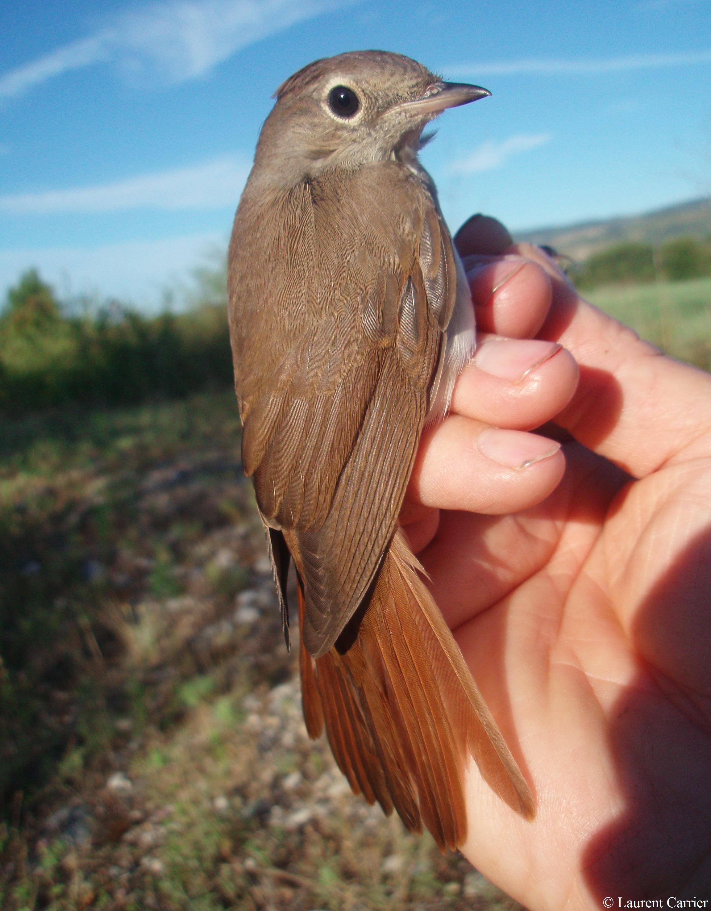 oiseau Martin 25 janvier trouvé par Ajonc Lusmeg-1A-05aou08-5