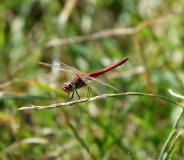 Sympétrum à nervures rouges, mâle, Drôme, mai 2020