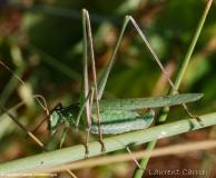 Phanéroptère liliacé, femelle adulte, Ardèche, juillet 2017