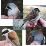 Suivi par le baguage des oiseaux hivernants des roselières de la moyenne vallée du Rhône durant l'hiver 2018/2019