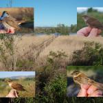 Suivi de la migration postnuptiale des passereaux paludicoles dans le nord de la Drôme par le baguage de 2006 à 2013